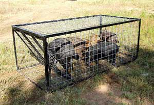 trapped-pigs